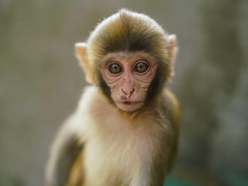 Dansçı Maymunlar